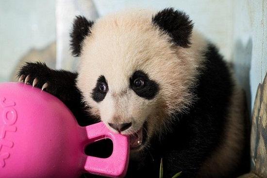 喜爱,网友suzyjohnson留言称自己以前并不是熊猫的