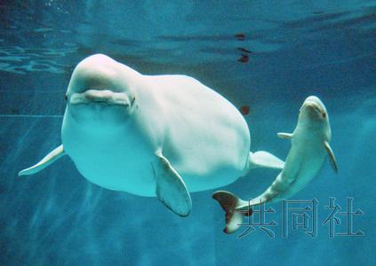 日本诞生白海豚宝宝与母海豚池中同游活力十足