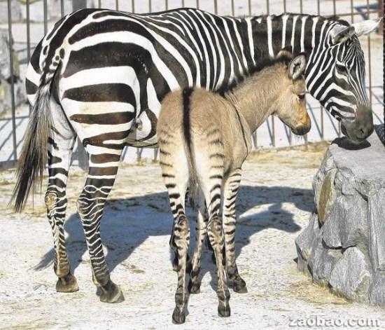 """欧洲一动物园迎""""斑驴""""宝宝头像驴子腿像斑马"""
