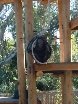 美一动物园猩猩假装上吊自杀 游客哭笑不得(图)