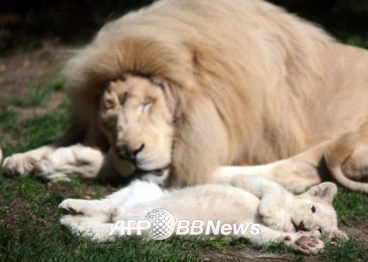 """白狮三胞胎幼崽首次公开 雄狮变""""慈父""""(组图)"""