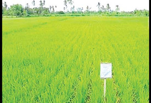 菲律宾超越中国印度 成亚洲进步最大稻米生产国
