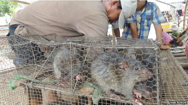 柬埔寨鼠肉热销越南市场 鼠肉比猪肉更美味?
