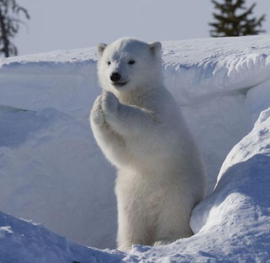 这些可爱的镜头随时都在发生,自己只是运气好,才有幸抓拍到了小北极熊