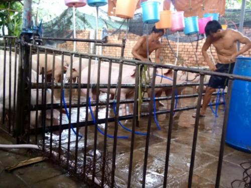 越南注水猪黑心产业遭曝光 官员被指受贿开绿灯