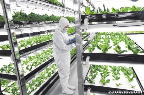 日本公司在无菌环境中用高科技种菜蔬菜更新鲜