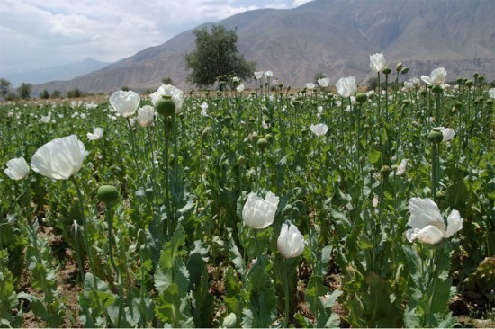阿富汗鸦片产量创新高 美多年反毒努力终未奏效