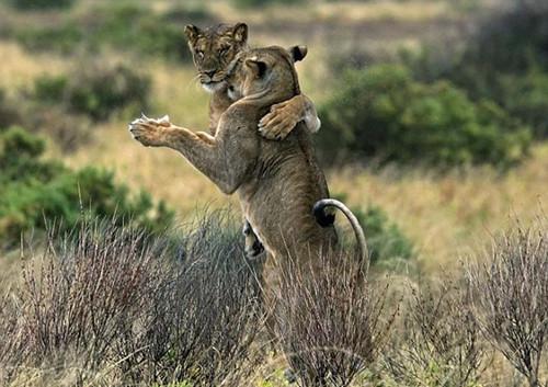 """摄影师抓拍肯尼亚狮子立后腿跳""""交际舞""""(图)"""