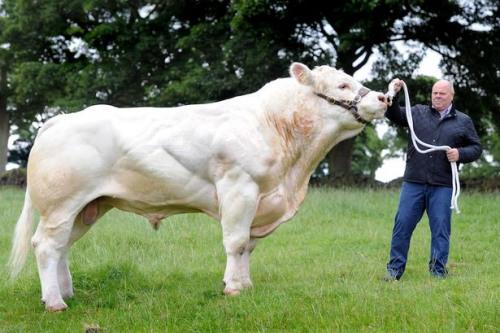英国2吨重公牛打破纪录 可做4.5万个汉堡(图)