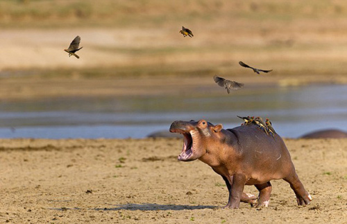 非洲小河马奋力摆脱背上小鸟