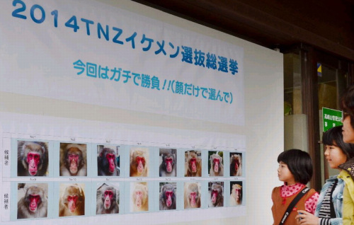 日本动物园猴子选美 外貌和猴群地位是评选标准