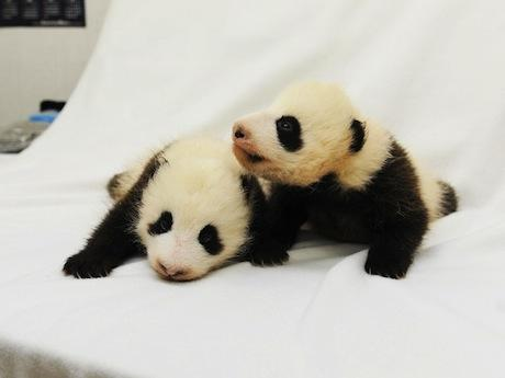 喜迎女儿节日本和歌山双胞胎熊猫宝宝亮相(图)