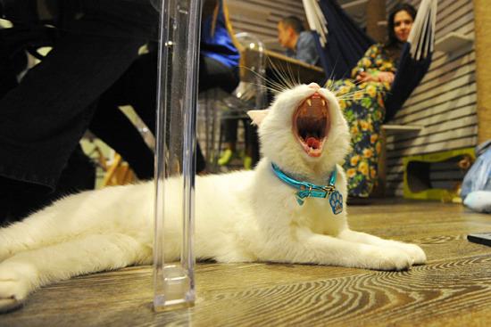 莫斯科开首家猫咪咖啡厅为喵星人量身打造(图)