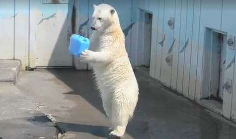北极熊直立行走娴熟把玩各类道具人气旺(图)