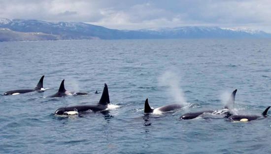 日本北海道出现百年不遇虎鲸群包围游轮引赞叹(贪图)