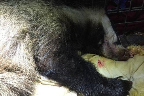 据波兰动物保护协会消息,该母獾被发现时已不省人事,身旁还有7个空