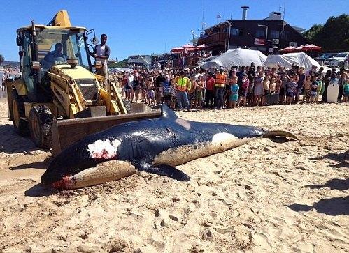 虎鲸在南非海滩搁浅死亡 腹中满是垃圾令人震惊