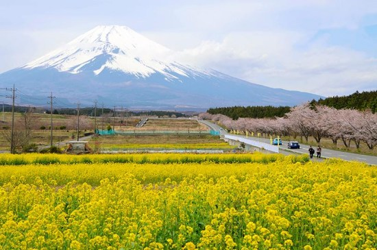 日本富士山下油菜花悉数绽放 与樱花交相辉映(图)