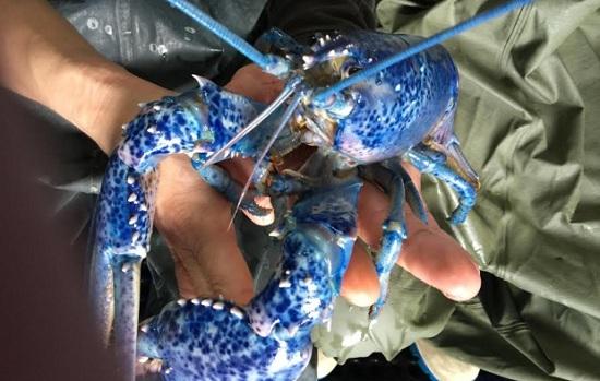 海洋之神眷顾加拿大渔民接连捉到幸运蓝龙虾(图)