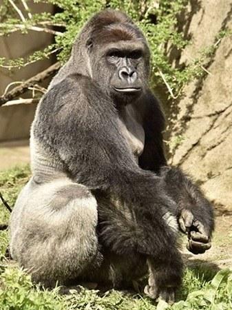 """美3岁男童爬进动物园围栏大猩猩""""躺枪""""遭射杀"""