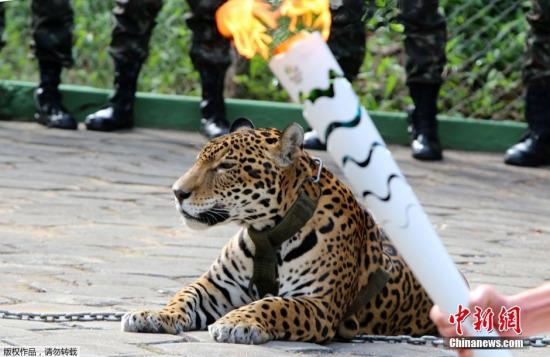 美洲豹参加奥运圣火传递仪式后欲逃跑被当场击毙