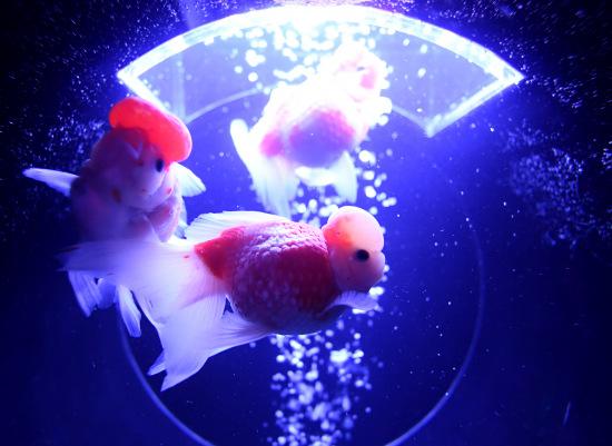 8000条金鱼水中迎光舞动:唯美清凉如梦如幻(图)