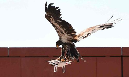 飞鹰警察大队:荷兰派老鹰抓非法无人机效率颇佳