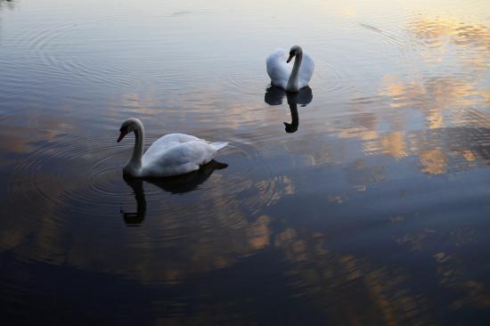 夕阳下的天鹅:晚霞中顾影自怜宛若云端起舞(图)