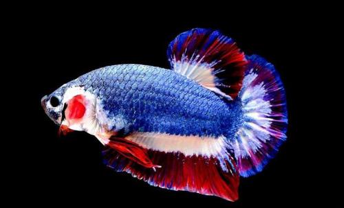 身披蓝红白国旗颜色泰国斗鱼拍卖约1万人民币(图)