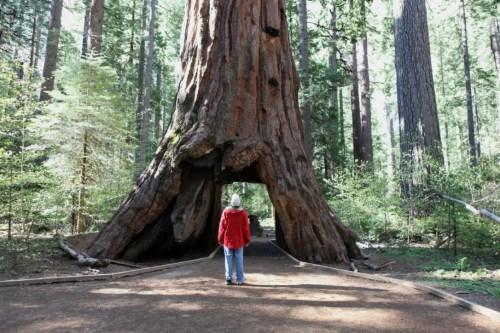 """加州千年""""隧道树""""不敌风雨倒下树身可容车辆通过"""