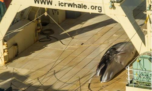 日本渔船在南极偷偷捕猎鲸鱼发现被拍立即遮掩(图)