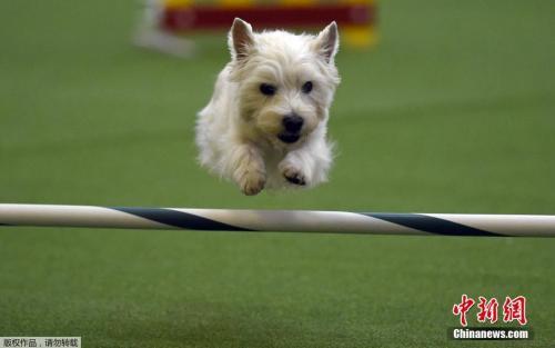 英国一只狗狗吞下20厘米刀接受手术后幸运脱险
