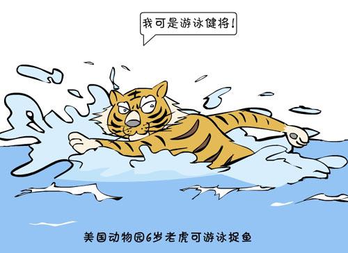 新闻浮世绘:美国动物园6岁老虎会游泳捕鱼