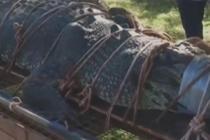 澳大利亚捕获重达600公斤巨鳄