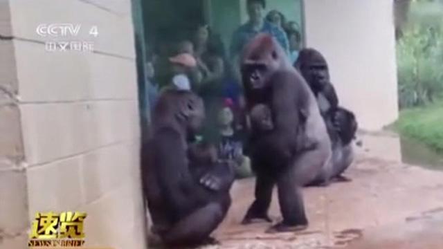 大猩猩集体迈小碎步贴墙躲雨 表情尴尬呆萌