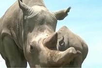 科学家培育出北方白犀牛试管胚胎