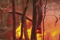 澳丛林大火持续燃烧 或致百只考拉丧生