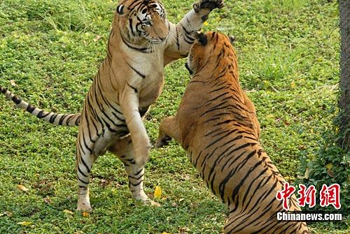 深圳野生动物园四只孟加拉虎成功合群散养