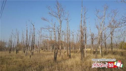 张北县馒头营镇:又一片杨树林几乎全部枯死