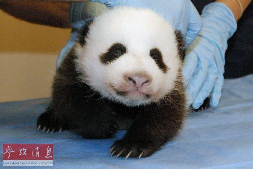 """尼克松夫人说:""""当然,熊猫太可爱了."""