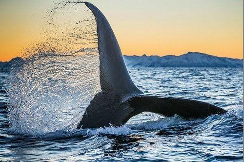 虎鲸仿生设计手绘图