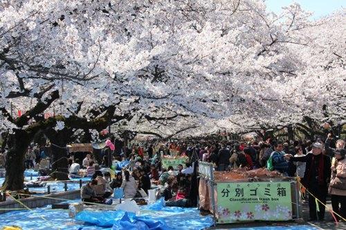 在日本樱花树下醉酒