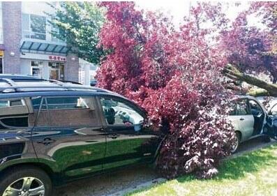 温哥华一华裔女司机汽车被树压塌吁市府赔偿损失