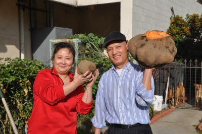 美蒙特利尔公园市华人种出超级地瓜重达10.3公斤