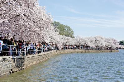 美国华盛顿潮汐湖畔樱花怒放华人游客络绎不绝