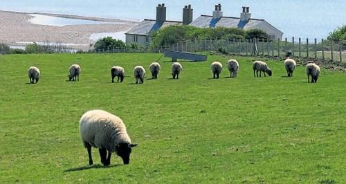 绵羊世界第一可爱图包