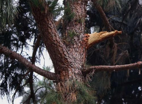 华人女子在美国被掉落树枝砸伤政府赔1450万美元