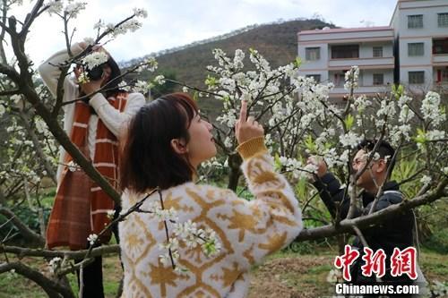 """10万亩李花盛放千山覆""""雪""""美景现侨乡广东信宜"""