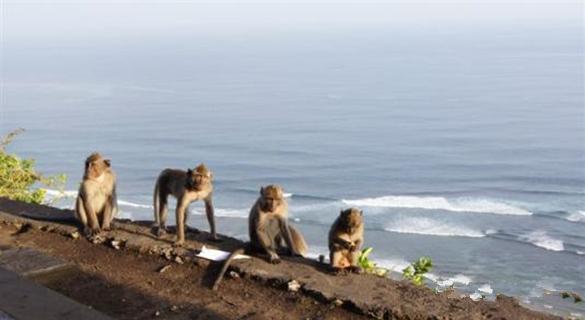 到巴厘岛情人崖旅游需谨慎 中领馆:注意,猴出没!