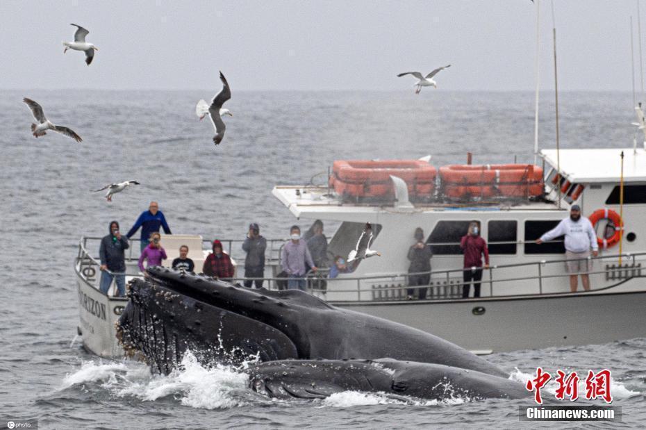 座头鲸跃出水面争夺食物 与船只咫尺之隔